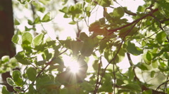 SLOW MOTION CLOSE UP: Sun shining through fluttering leaves on tree branches - stock footage