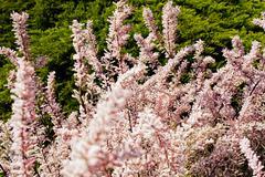 Shrub pale pink color Stock Photos