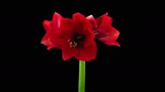 Time-lapse of opening Dark Red amaryllis in RGB + ALPHA matte format Stock Footage