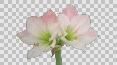 Time-lapse of opening amaryllis Apple Blossom Christmas flower with ALPHA - stock footage