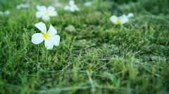 Dolly shot - Frangipani Flower, plumeria Flower on the grass background(Edit ton Stock Footage