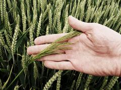 Man hand touch weed in wheat field. Young green wheat Stock Photos