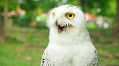 wild bird, white snowy owl, - stock footage