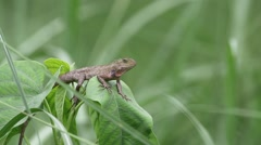 Garden lizzard Stock Footage
