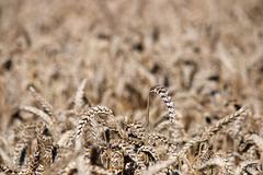 golden wheat close up summer season - stock photo