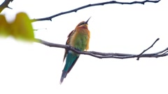 Blue-tailed bee-eater, in white background Stock Footage
