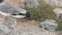 Lava gull picking up pebbles for a nest on sth plazas in the galapagos Stock Footage