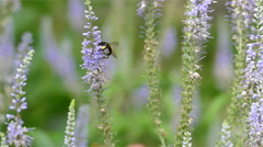 Bee on a Blue Flower - stock footage