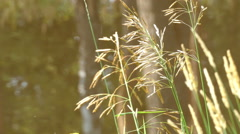 Grass Near the River, Summer, Insects, Bulrush, Zuyevo Nut Stock Footage