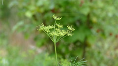 Dill Watered in the Summer Stock Footage