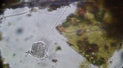 Vorticella SP is a genus of protozoa Stock Footage