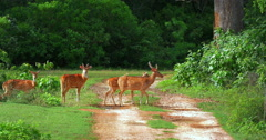 Beautiful nature scene of wild deer family crossing road in Yala national park Stock Footage