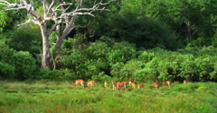 Beautiful nature scene with wild animals in forest on green grass. Sri lanka Stock Footage