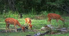 Group of deer grazing on green grass pasture. Udawalawe national park, Sri Lanka Stock Footage