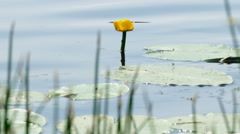 Lily in the River and Back Float Fish, Summer Stock Footage