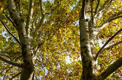 Looking up tree canopy - stock photo