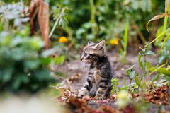 Cute small gray kitten with beautiful striped color walking and playing in the Stock Photos