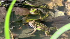 2 frogs sunbathing in a quiet pond - close up Stock Footage