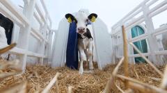Livestock industry. calf on the farm Stock Footage