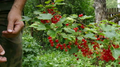 Collection of Red Currant in the Summer in July Arms Stock Footage