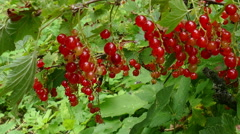 Collection of Red Currant in the Summer in July Stock Footage