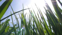 Bright Sun Shining on Green Grass in Rice Field Stock Footage