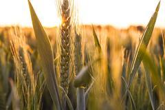 Wheat Farm Field at Golden Sunset or Sunrise - stock photo