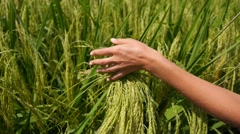 Woman Hand Touching Green Grass in Rice Fields. Slow Motion. Stock Footage