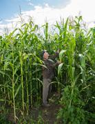 Farmer examining corn plants Stock Photos