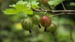 Gooseberry fruit on the branch in the garden Stock Footage