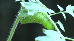 Tobacco hornworm on tomato plant Stock Footage