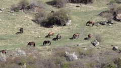 Herd of horses grazing on a rocky clearing. Wildlife, Georgia. Stock Footage
