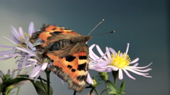Butterfly Flies Away from Flower - stock footage