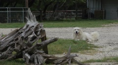 Great Pyrenees (Dog) Wagging Tail Stock Footage