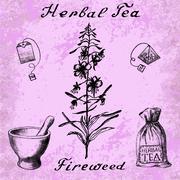 Willow herb, Chamerion, fireweed, rosebay hand drawn sketch botanical illustr - stock illustration