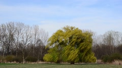 large weeping willow tree wind closeup - stock footage