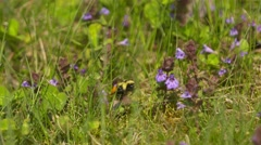 Red Belted Bumble Bee Bombus rufocinctus purple flower Stock Footage