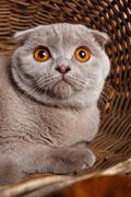 Portrait of gray cat with yellow eyes Scottish Fold Stock Photos