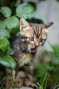 Little  striped kitten meowing outdoors Stock Photos