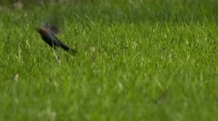 Male cowbird in grass flies away - stock footage