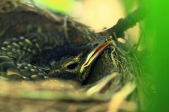 Hatchling of American Robin Bird Stock Photos