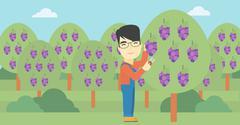 Farmer collecting grapes vector illustration Stock Illustration