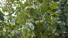 Green Walnuts On The Tree Stock Footage