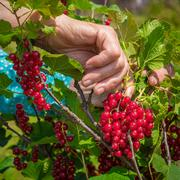 Anonymous senior woman in her garden and homegrown redcurrants Stock Photos