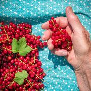 Senior woman in her garden and homegrown redcurrants, view from above Stock Photos