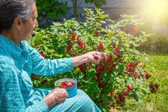 Beautiful senior woman in her garden picking homegrown redcurrants Stock Photos