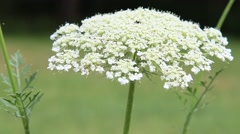A closeup of Wild White Inflorescence flowers (Daucus carota) Stock Footage