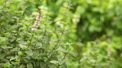 Mint flowers and plants waving at wind, steadicam closeup Stock Footage