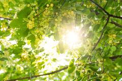 Blooming linden, lime tree in bloom with bees and sunflare Stock Photos