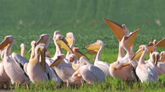 Large flock or White pelicans in shallow lake during migration Stock Footage